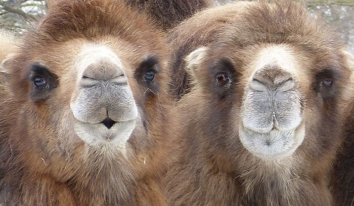 Curious camels in the Wilhelma