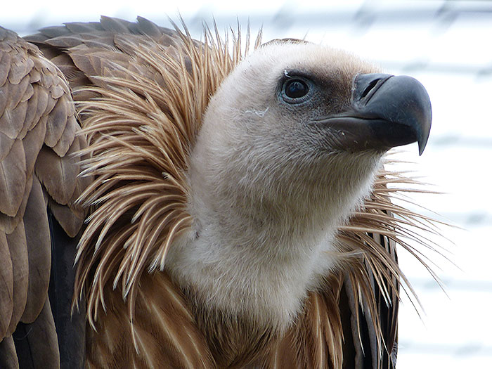 Vulture in the Wilhelma