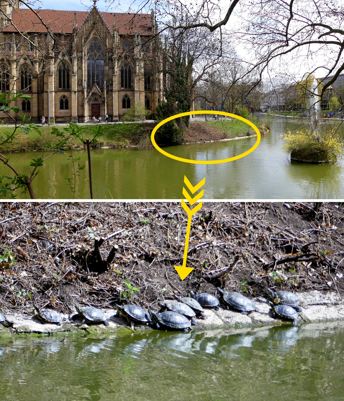 Turtles living happily at Feuersee Stuttgart